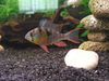 Bolivian Rams (Pack of 3)